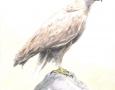bird-  pencil illustration